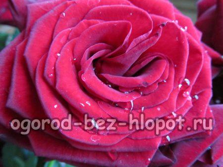 Размножение розы черенками дома