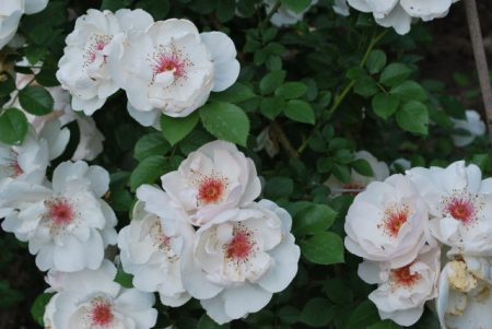 Плетущиеся роза «Жаклин де Пре»