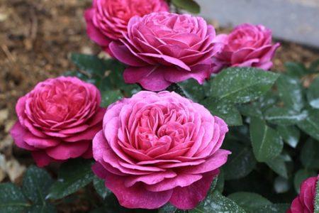 Роза «Хайди Клум Роуз»