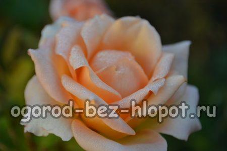 Как вырастить розу из букета в домашних условиях в картошке