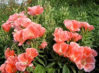 Годеция: выращивание из семян, когда сажать