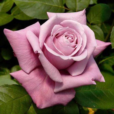 Садовая сиреневая роза «Шарль де Голль»