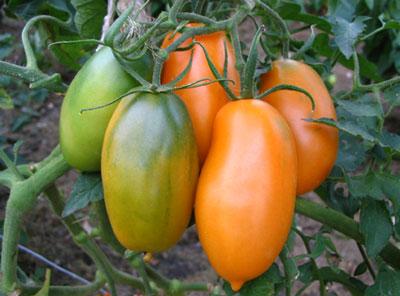 Какие сорта томатов наиболее урожайные для выращивания в теплице?