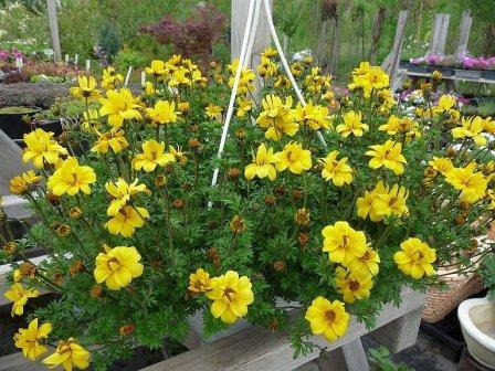 ампельные цветы для сада название фото