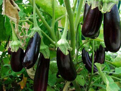 Выращивание рассады баклажан в домашних условиях