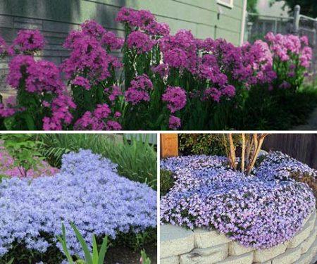 Многолетние цветы, цветущее всё лето: фото и название, неприхотливые