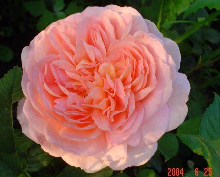 Садовая роза «Абрахам Дерби»