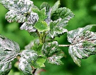 Чем обработать смородину весной от вредителей и болезней