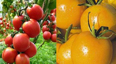 Какие сорта помидор лучше сажать в теплице из поликарбоната