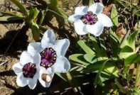 спараксис выращивание и уход в саду