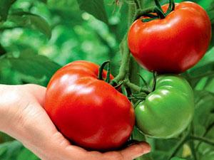 Лучшие сорта томатов сибирской селекции: характеристики и фото