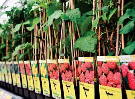 Где купить саженцы плодовых кустов