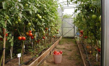 Какие помидоры сажать в теплице из поликарбоната