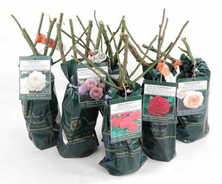 Как сохранить розы до посадки, купленные в феврале