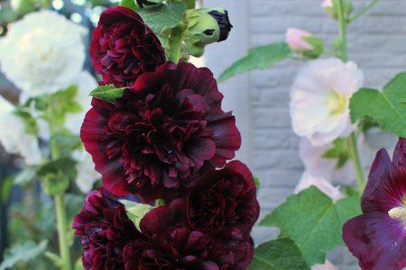 Шток-роза, выращивание из семян, когда сажать