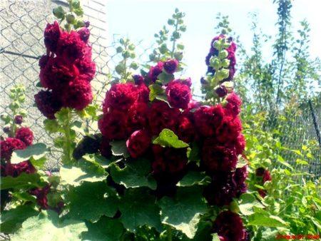 Шток-роза, выращивание