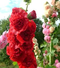Шток-роза на участке