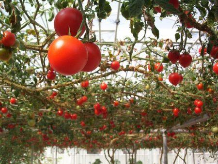 какие помидоры посадить в теплице