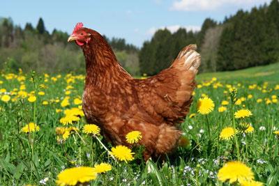 Куриный помёт: как удобрение, как разводить