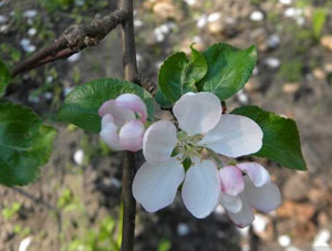 Чем обрабатывать яблони весной от вредителей и болезней