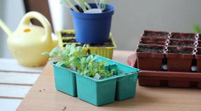 Астра: выращивание из семян в домашних условиях