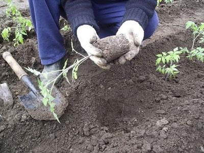 Когда высаживать помидоры в открытый грунт в Подмосковье