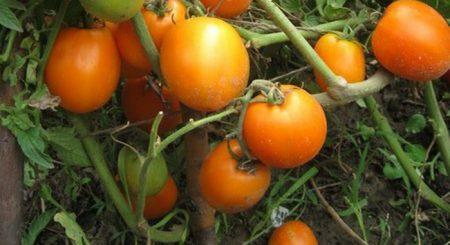 Какие сорта помидор урожайные