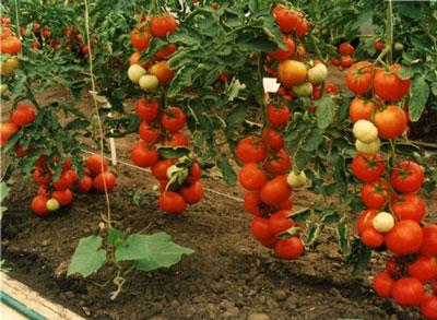 Томат Интуиция отзывы, фото, урожайность