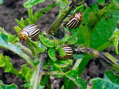 Чем обработать картофель перед посадкой от колорадского жука