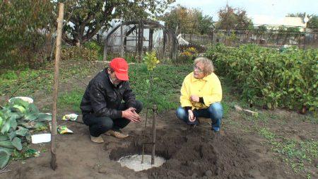 Подкормка плодовых деревьев и кустарников весной