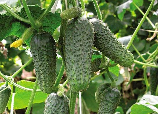 самые урожайные огурцы для открытого грунта