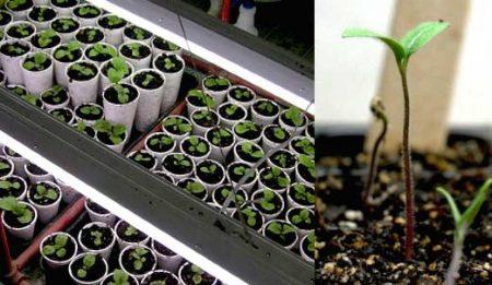 Как вырастить рассаду капусты в домашних условиях, пошаговая инструкция пошаговая