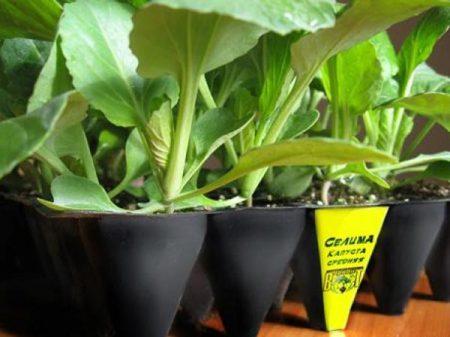 Как вырастить рассаду капусты в домашних условиях, пошаговая инструкция