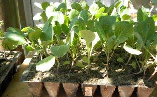 Как вырастить рассаду капусты в домашних условиях, советы