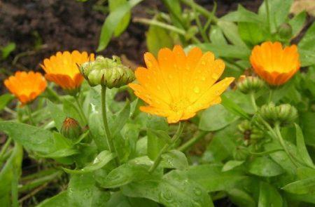 Календула: выращивание из семян