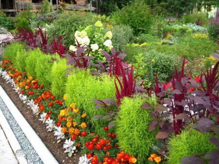 Кохия: выращивание из семян, когда сажать