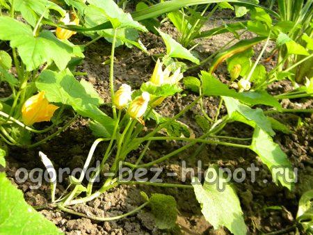 цветущие кабачки