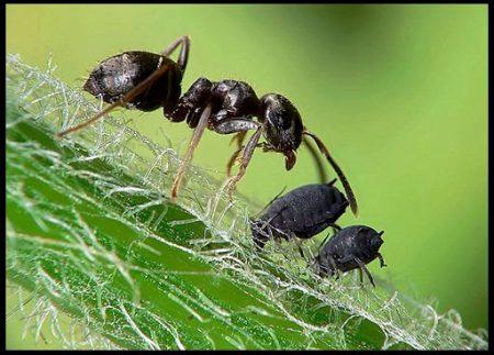 Как бороться с муравьями