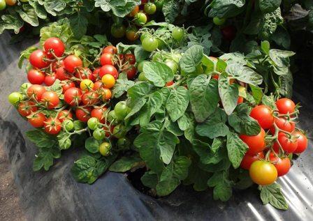 какие сорта помидоров низкорослые и урожайные