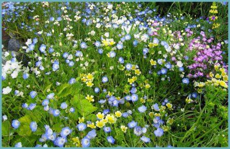 Немофила: выращивание из семян