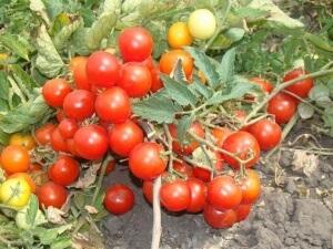 низкорослые урожайные томаты