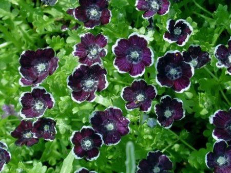 Немофила: выращивание из семян, когда сажать
