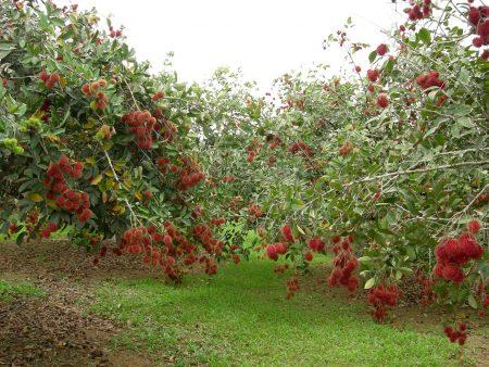 Малиновое дерево: посадка и уход, размножение
