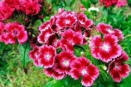Гвоздика турецкая садовая многолетняя: посадка и уход