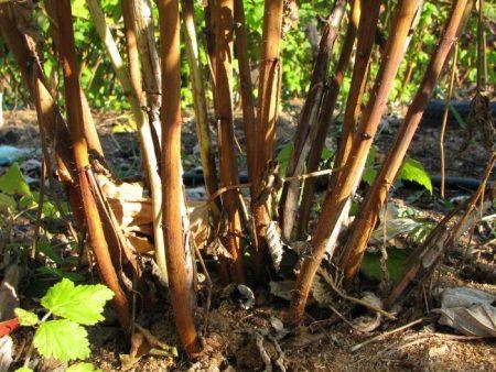 Малиновое дерево: посадка и уход, фото