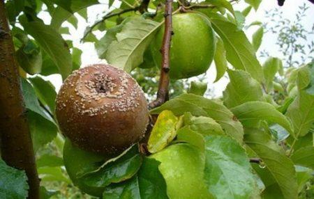 Болезни яблони и борьба с ними- фото, что это за болезнь