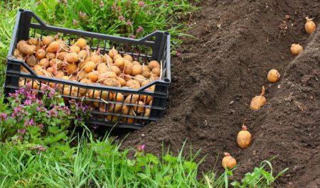 Как правильно посадить картошку, чтобы был хороший урожай
