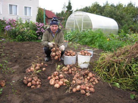 Как правильно посадить картошку