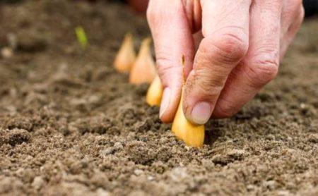 Чем обработать лук севок перед посадкой от болезней