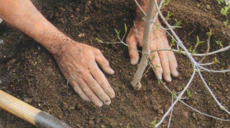 какой уход обеспечить груше весной